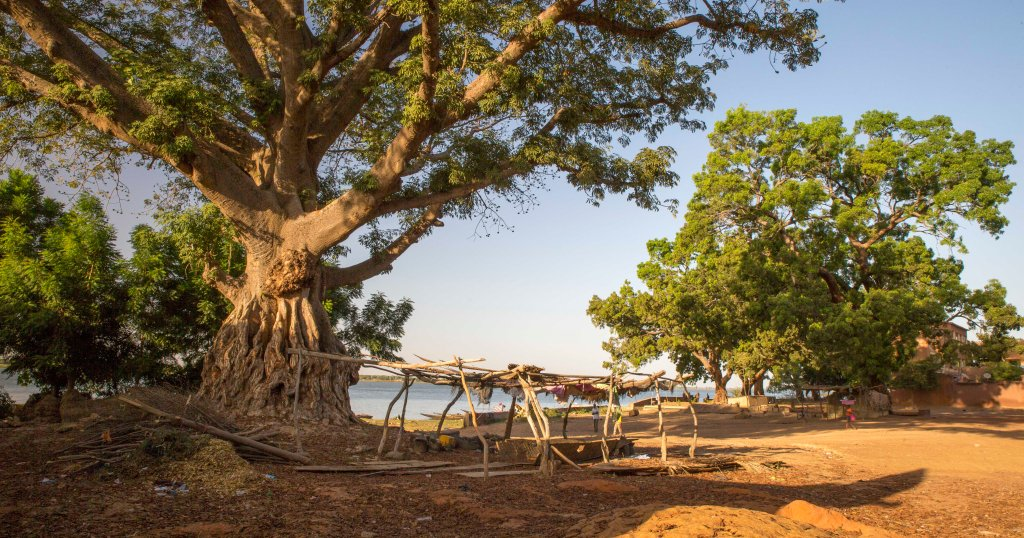 Majestic tree casting shade on boat repair yard next to the Niger