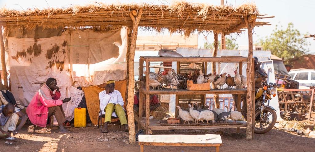 Guinea fowl in Mali