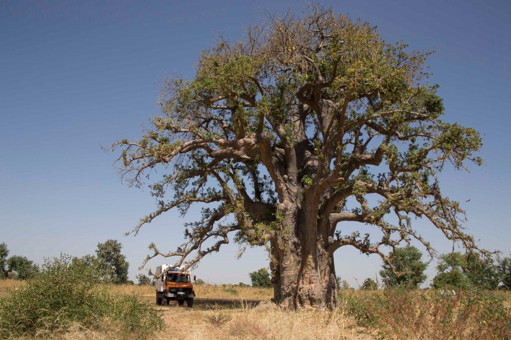 Impressive truck and baobab