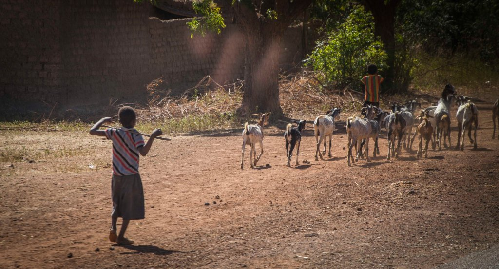 Young shepherd boy tending his goats