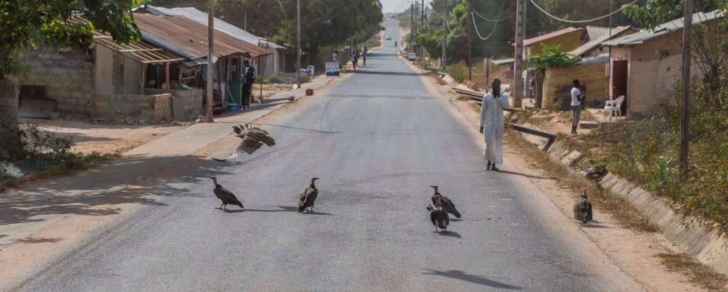 Street clearing vultures