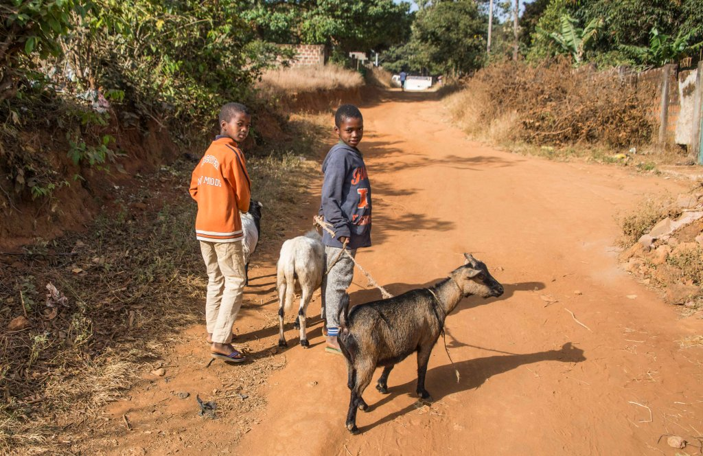 Taking the goats for a walk