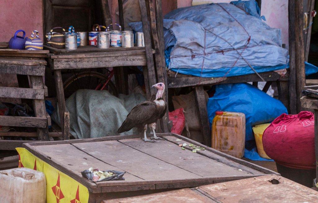 Vulture in the Gabu bazaar
