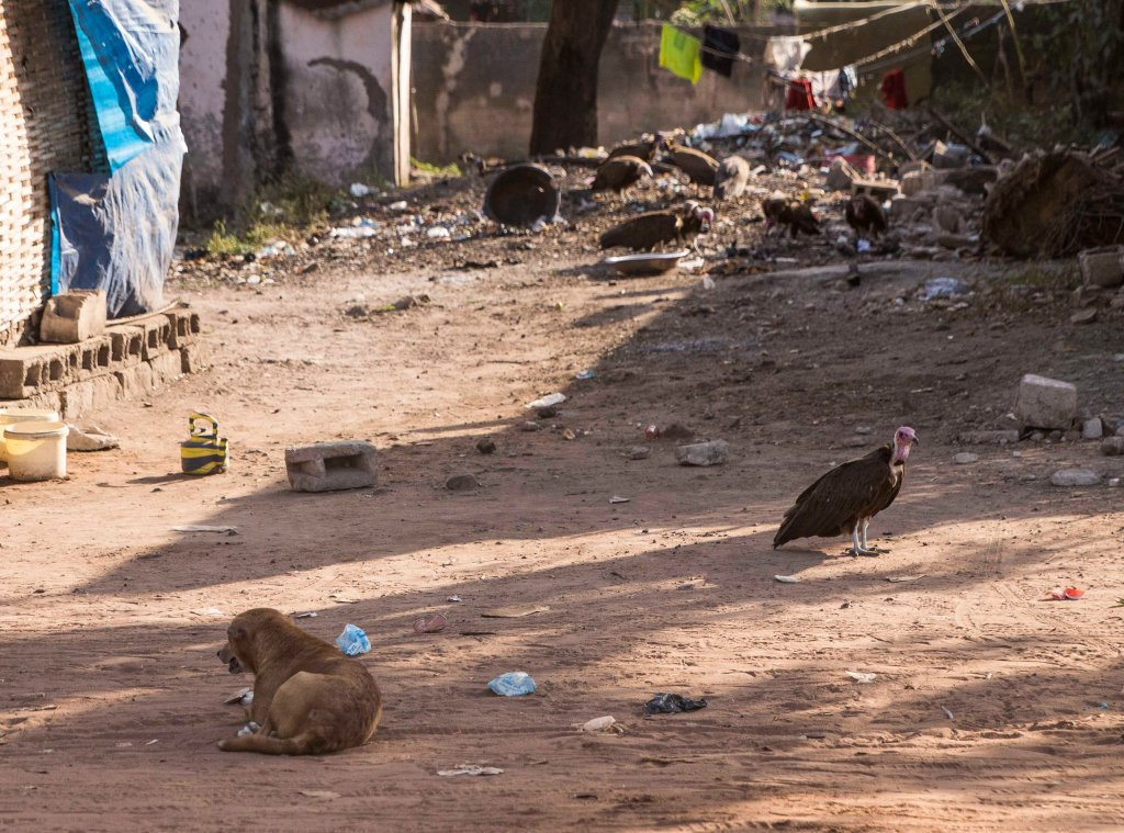 Vultures and dogs at a tip